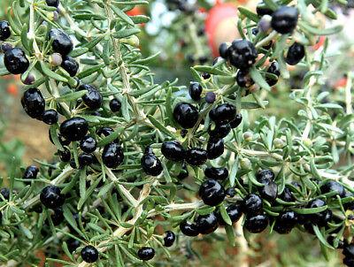 1 Black Goji Berry Live Plant Rare Lycium Ruthenicum 4 Inch