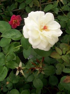 Sugar Moon White Roses 2 Gal. Live Plant Double Flower Fragrant Rose Bush Garden
