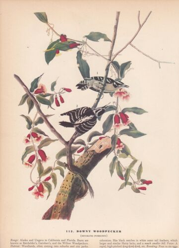"1942 Vintage AUDUBON BIRDS #112 DOWNY WOODPECKER/"" WOW Color Art Plate Lithograph"