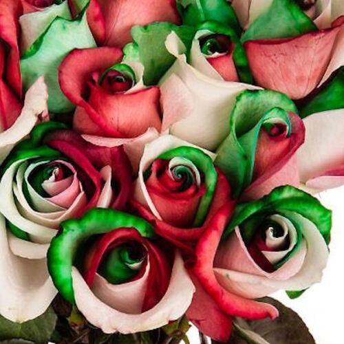 """Tribute Geschenk /""""35 Rose Rosen Samen Red Cream Green Seeds Gothic Gardenin./"""""""