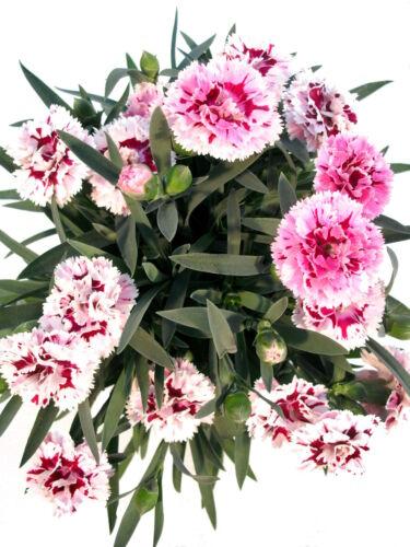 Gefüllte Nelke bordeauxrot-rosa-weiß Blüht bis in den Herbst hinein