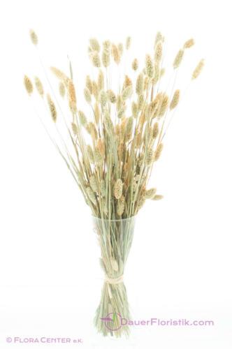 Trockenblumen Phalaris natur Glanzgras getrocknet Trockenstrauß ca 55 cm