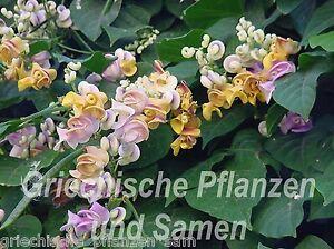 Vigna-Caracalla-Schneckenbohne-5-Samen-Bluetentraum-fuer-Bakon-Ranker-Kuebel