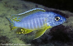 """MALE Protomelas sp. Pombo Rocks, """"Yellow Chin"""" 1.5 in African Cichlid Live fish"""