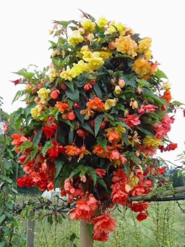 FLOWER BEGONIA TUBEROUS ILLUMINATION MIXED F1 15 PELLETS