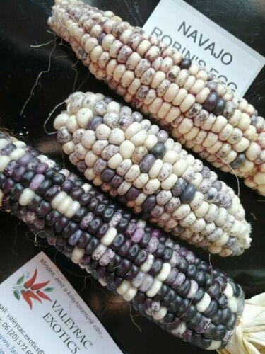Navajo Robin/'s Egg Corn 10+ seeds Maize Heirloom Seeds!