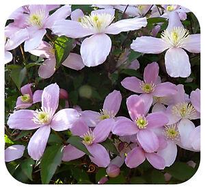 Clematis-Montana-039-Elizabeth-039-Bare-Root-Plants-x-3-Vigorous-Scented-Climber