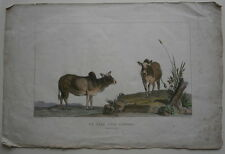 Antique French Marechal Hand Colored Copper Engraving of Zebu Cattle Paper Print