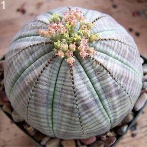 100pcs-Mixed-Succulent-Seeds-Lithops-Rare-Living-Stones-Plants-Cactus-Home-Plant