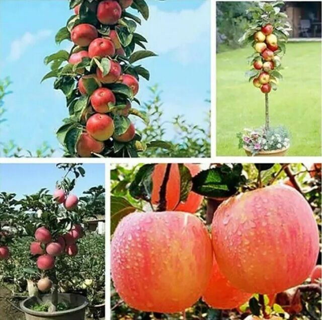20 Bonsai Apple Tree Seeds Garden Yard Outdoor Living Fruit Plant Fascinating For Sale Online Ebay