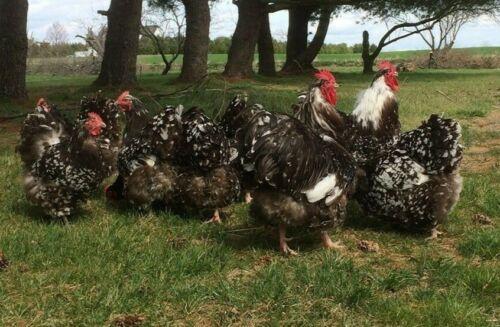 6 Chicken Hatching Eggs Chocolate /& Chocolate Mottled ENGLISH ORPINGTON UK