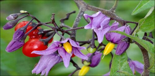 packet of 30 seeds Solanum dulcamara Bittersweet Nightshade