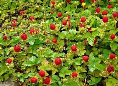 Indian strawberry a.K.a Mock strawberry,Gurbir,or false strawberry- Duchesnea