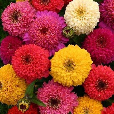 FLOWER ZINNIA DAHLIA MIX 3.5 GRAM ~ APPROX 420 FINEST SEEDS