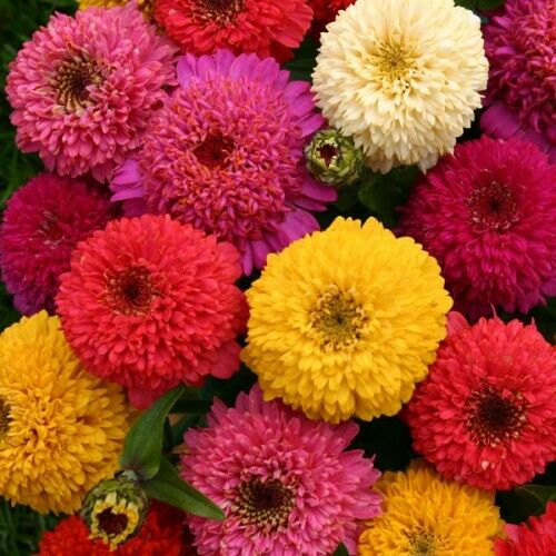 FLOWER ZINNIA DAHLIA MIX 3.5 GRAM ~ APPROX 420 FINEST SEEDS