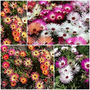Mittagsblume Prachtmischung Höhe 10 cm Samen