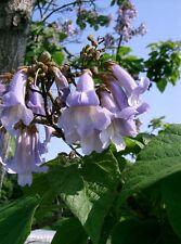 300+ Samen Paulownia tomentosa - Chinesischer Blauglockenbaum