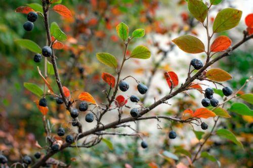 Chokeberry ☺30 graines d/'aronia