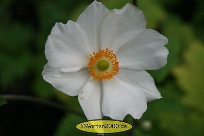 """Herbstanemone, Anemone japonica  """"Andrea Arktison""""  ab1,95 Staffelpreise"""