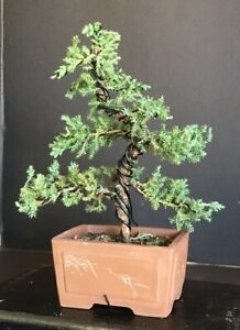Juniper Bonsai Ebay