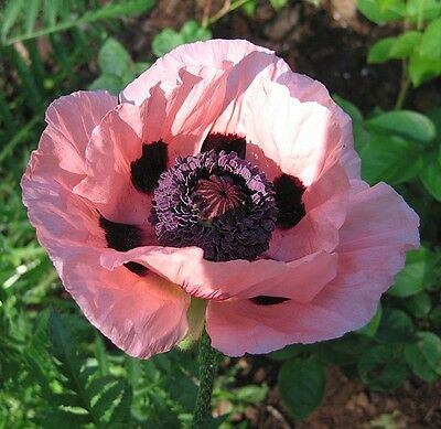 Poppy Seeds Papaver Victoria Louise 500 Oriental Poppy Seeds Papaver Seeds