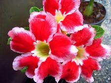 Adenium Obesum Desert Rose - CX Santa - Perennial Bonsai Seeds (5)