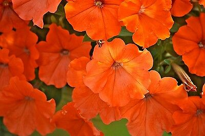 AFRICAN SUNSET PETUNIA 20 SEEDS BREATHTAKING DESCRIBES THIS BEAUTIFUL PLANT