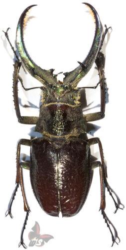 71-75mm Sphaenognathus giganteus UNMOUNTED beetle