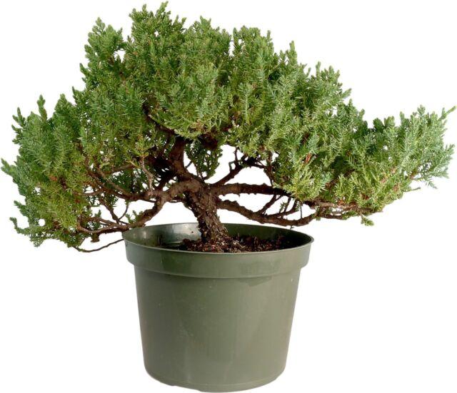 Japanese Dwarf  Juniper procumbens nana  Bonsai Tree