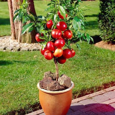 Grape Pomegranate Guava 5 seeds Each Dwarf Fruit Seeds Combo Orange,Apple