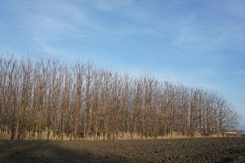 Wertholz schnellwüchsig 10 x Blauglockenbaum//Paulownia /'Shandong/' 9-cm-Topf