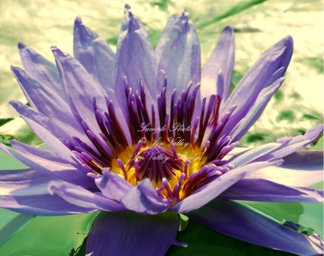 Nymphaea nouchali stellata  Blue Star Water Lily Seeds Ships From USA