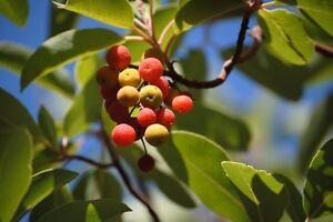Lecker-und-genial-die-Erdbeere-vom-Baum-der-exotische-Erdbeerbaum-Neue-Samen