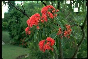 Swamp-Bloodwood-Seed-Small-Tree-Exquisite-Red-Flowers-Corymbia-ptychocarpa
