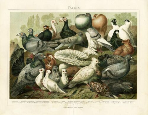 Tauben Haustaube Lockentaube Felsentaube Vögel Original Chromolithographie BBB