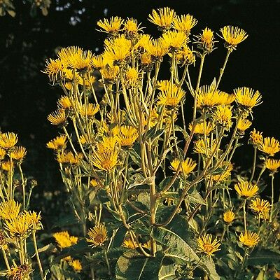 30 Seeds Agrimony Kings Seeds