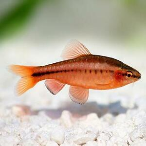 Live tropical aquarium fish for sale cherry barbs for Fish for sale online