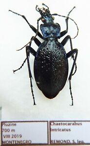 Carabus chaetocarabus intricatus (female A1) from MONTENEGRO (Carabidae)