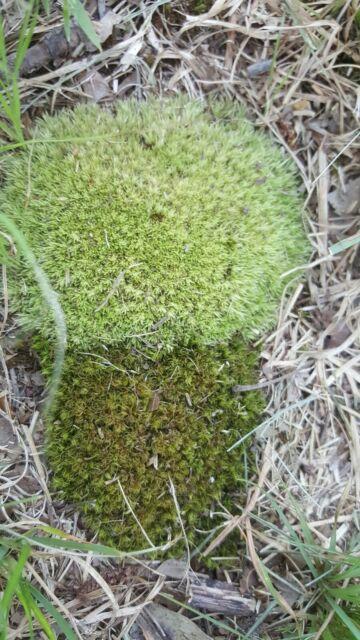 1 Gallon Mixed Live Mood Pin Cushion Moss Terrariums Fairy Gardens Bonsai For Sale Online