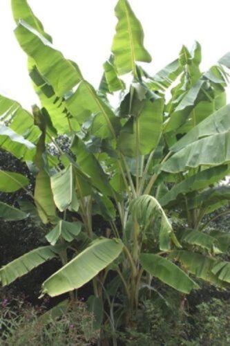 25 x Musa Yunnanensis seeds Yunnan Banana.