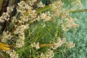neige woodrush Luzula nivea 30 graines