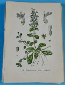 100% De Qualité 1893 Ancienne Lithographie Bugle Rampant Tachée Gaston Bonnier Botanique.