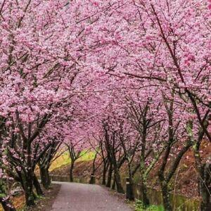 Pink Sakura Cherry Blossom Tree Seeds Garden Flower Plant Seed Ebay