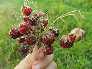 RARE-Delicious-Fragaria-vesca-Woodland-Strawberry-10-fresh-seeds