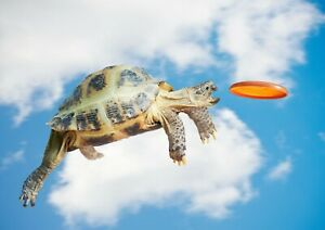 A1-Funny-Turtle-Poster-Art-Print-60-x-90cm-180gsm-Tortoise-Frisbee-Gift-8315