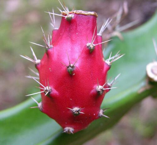 Barbed Wire Cactus rare Acanthocereus tetragonus cereus succulent seed 50 seeds