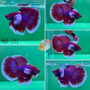 (HB-111) Lavender Dumbo Ear Halfmoon-Live Halfmoon Betta Fish High Quality