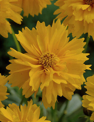 large flowered tickseed seeds BABY GOLD blooming from spring A 0.7g approx. 250