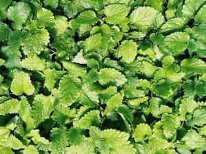 1000//2500 Graines Absinthe Herbe Plante Aromatique Vivace Fleur Jaune Vif