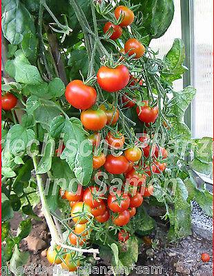 Tiny Tim ** Kirsch-Tomaten** Balkon Tomate * reichtragend 10 Samen Balkon Kübel